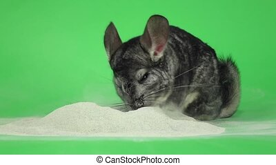 Chinchilla is bathed in sand for cleansing fur. Slow motion...