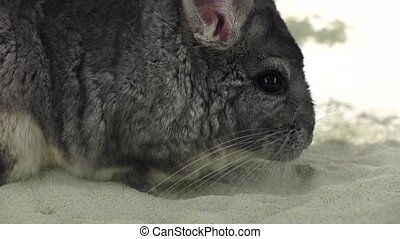 Chinchilla is bathed in sand for cleansing, slow motion....