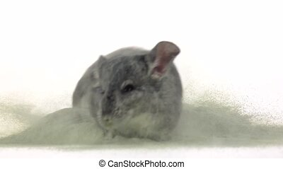 Chinchilla is bathed in zeolite sand, cleansing fur. Slow...