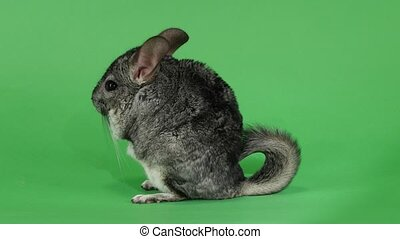 Chinchilla sits on hind legs sideways to viewer. Green...