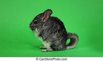 Chinchilla sits on hind legs sideways to viewer. Slow motion...