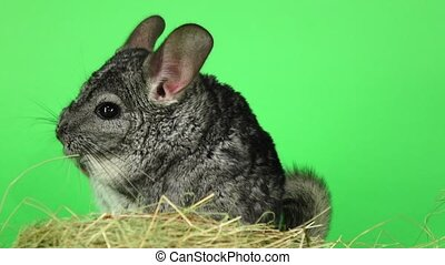 Chinchilla sitting in haystack on green background. Slow...