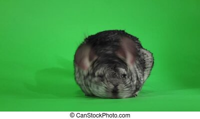 Chinchilla washed and licked sideways camera. Green screen,...