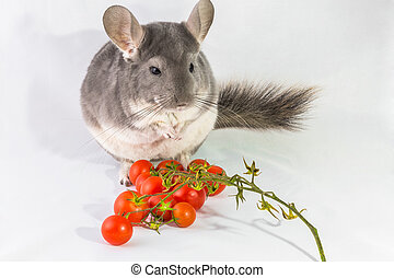 Chinchilla with tomatoes