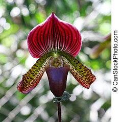 chinelo, cima, paphiopedilum, fim, senhora, orquídea