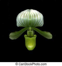 chinelo, verde, senhora, orquídea