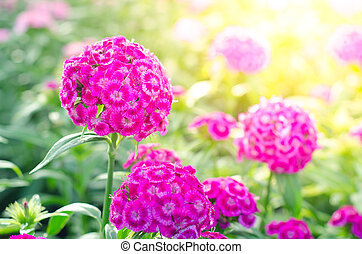 chinensis, flor, dianthus, rosa, ), dulce, william, (china