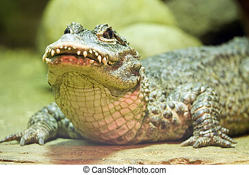 Chinese Alligator (Alligator sinensis) in a Moscow Zoo