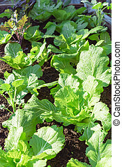 (chinese, broccoli), crecer, kailan, col, chino, plantas, ...