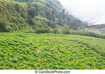 chinese cabbage field