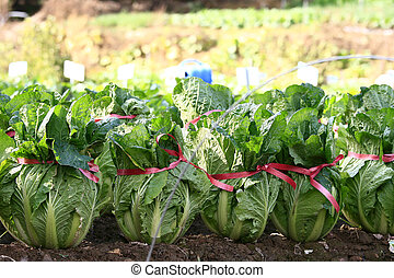 Chinese Cabbage - Cabbage crop on a personal kitchen garden...