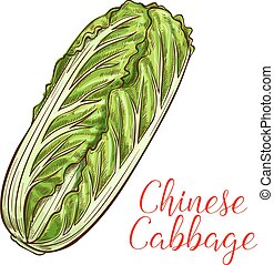 Chinese cabbage vector sketch vegetable icon - Chinese...
