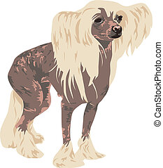 Chinese Crested dog breed on a white background detail is...