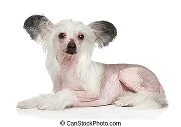 Chinese Crested Dog lying on white