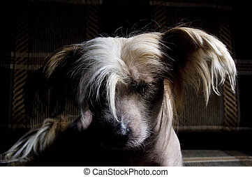 Chinese Crested Dog on black