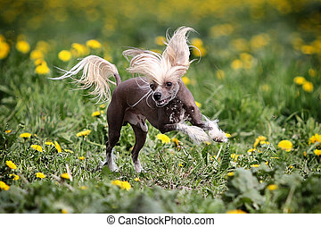 Chinese crested dog run in field