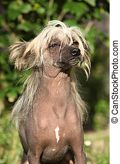 Chinese Crested Dog sitting