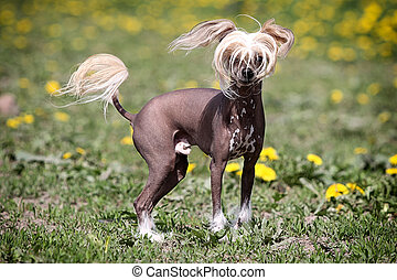 Chinese crested dog stand in field