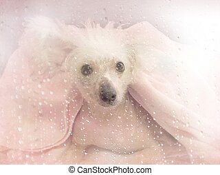 Chinese Crested dog under a blanket