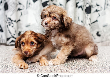 Two Little funny Chinese Crested fluffy pappy dog posing