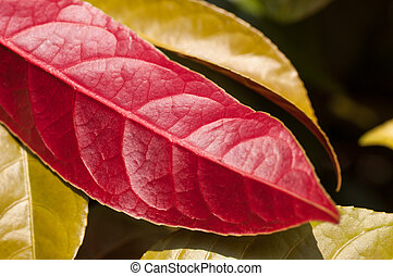 Chinese Croton red underside leaf close up