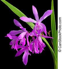 Chinese ground orchid - Bletilla striata