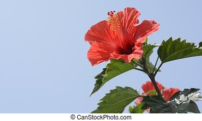 Chinese hibiscus in right - Chinese hibiscus flower in left...