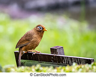 Chinese hwamei songbird perched on a sign 9 - A Chinese ...
