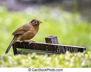 Chinese hwamei songbird perched on a sign - A Chinese hwamei...