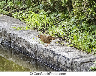 Chinese hwamei songbird standing on a stone border 1 - A ...