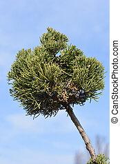 Chinese juniper Kaizuka - Latin name - Juniperus chinensis...