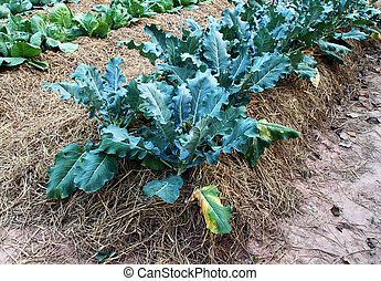 Chinese kale vegetable at a farm