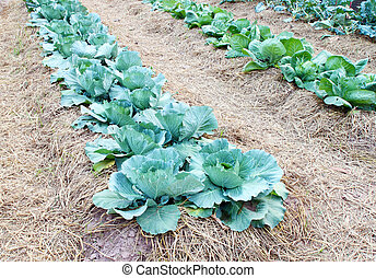 Chinese kale vegetable growing at a farm