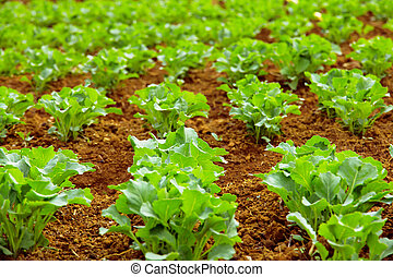 Chinese kale vegetable in garden