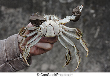 Chinese mitten crab, Eriocheir sinensis, Single crab in mans...