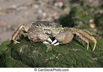 Chinese mitten crab, Eriocheir sinensis, Single crab on mud...