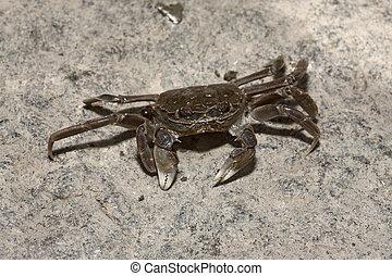 Chinese mitten crab, Eriocheir sinensis, River Thames,...