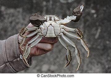Chinese mitten crab, Eriocheir sinensis, Single crab in mans...