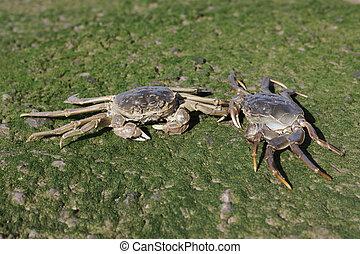 Chinese mitten crab, Eriocheir sinensis, Thames, London, ...