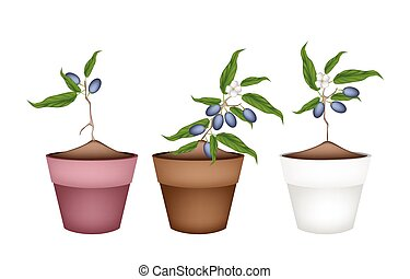 Chinese Olive Plants in Ceramic Flower Pots