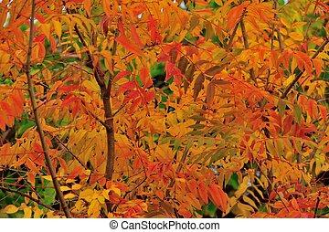 Chinese pistachio in autumn