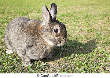 chinese rabbit on the green grass