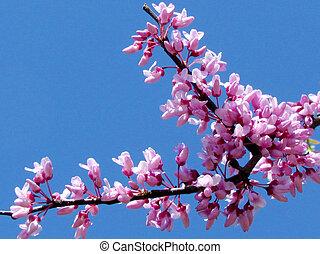 Chinese Redbud Tree flowers in Or Yehuda, Israel, March 18, 2012