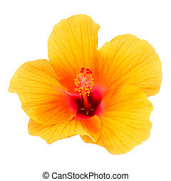 Chinese rose, Orange Hibiscus flower on white background. (Hibiscus rosa sinensis.)