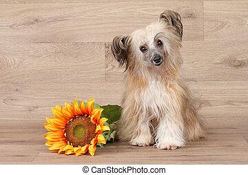 Chinese shaggy crested dog