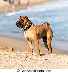 Chinese Shar-Pei - Shar Pei standing in the sand
