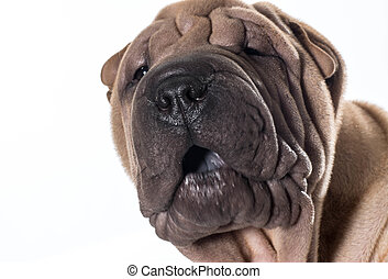 chinese shar pei portrait - chinese shar pei head portrait...