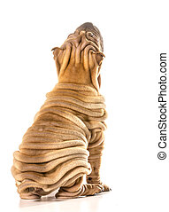 chinese shar pei sitting looking up from back side isolated...