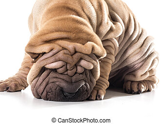 chinese shar pei sniffing the ground isolated on white...