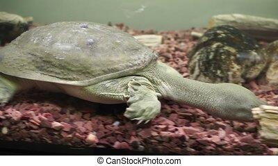Chinese softshell turtle trionyx. - Beautiful chinese...